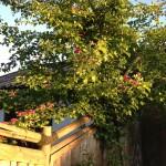 Hawthorn - Paul's Scarlet