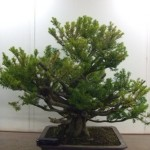 Demo Day 1 - taxus and juniper 002