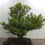 Demo Day 1 - taxus and juniper 005