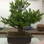 Demo Day 1 - taxus and juniper 010