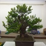 Demo Day 1 - taxus and juniper 011
