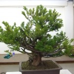 Demo Day 1 - taxus and juniper 012