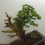 Demo Day 1 - taxus and juniper 041