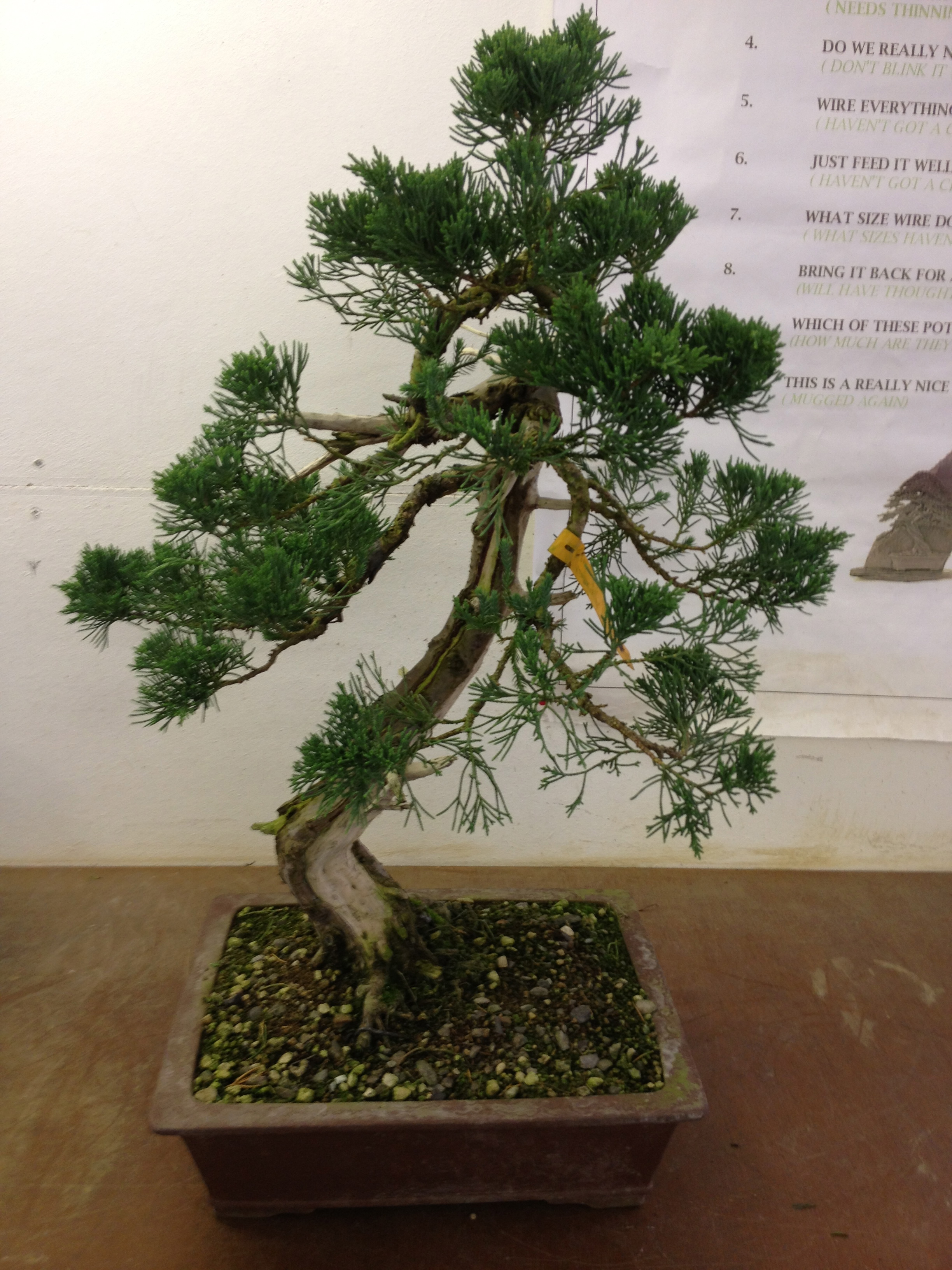 Topical Times Its That Styling Time Of Year John Hanby Bonsai Wiring Demo The Parsonii Juniper Had Been Originally Styled At One Our Days But After Removal Wire Gradually Lost Shape