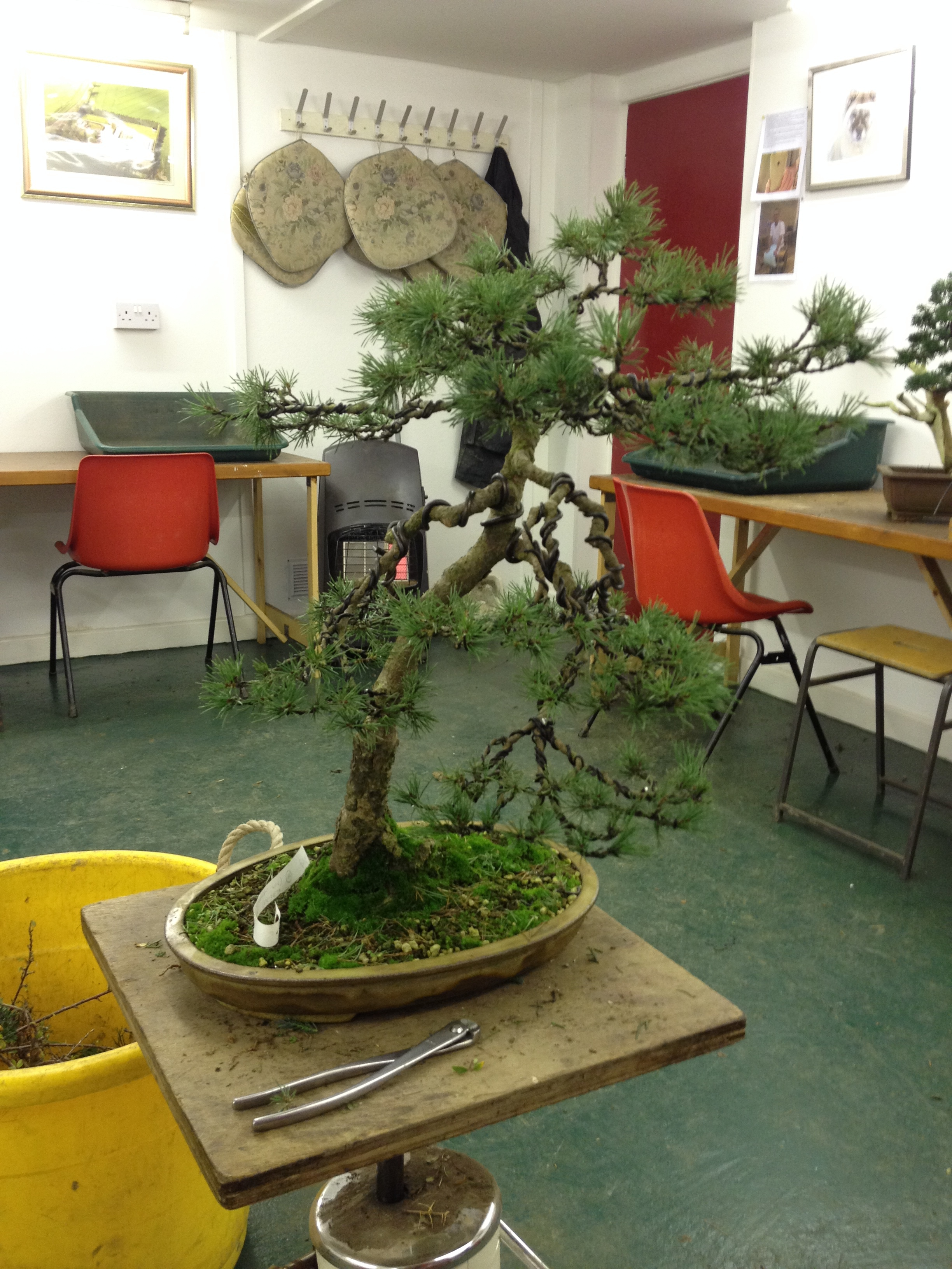 Studio Stories Some Nursery Bonsai Stylings John Hanby Wiring Time Each You Wire And Style A Tree Take It To Another Level Is Step Stage In The Development Refinement Of Your