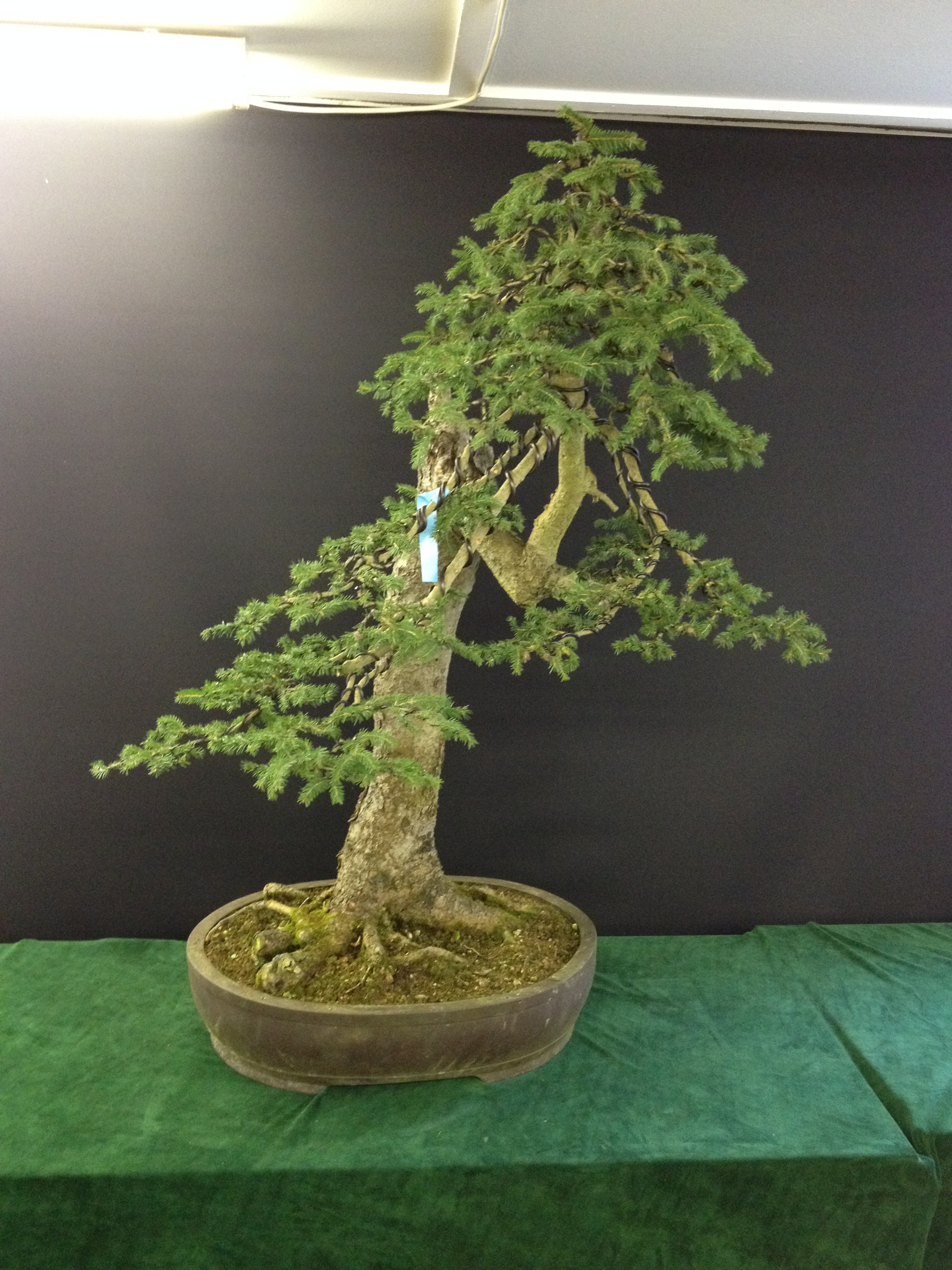 Studio Stories Some Nursery Bonsai Stylings John Hanby Wiring Your Tree This Yamadorii Spruce Appeared So Sparse That You Would Expect The To Produce A Very Basic Shape But Where Does Extra Foliage Come From