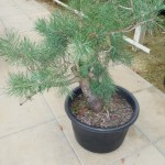 scots pine 2 day 1 (533x800)