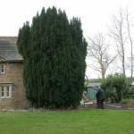 Cawthorne Yew 001