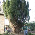 Cawthorne Yew 006