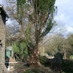 Cawthorne Yew 010