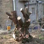 Cawthorne Yew 013