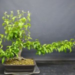 pruned at JH (1) (800x674)
