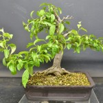 pruned at JH (4) (800x673)