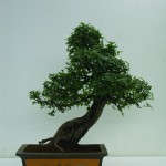 Chinese Elm-Slanting