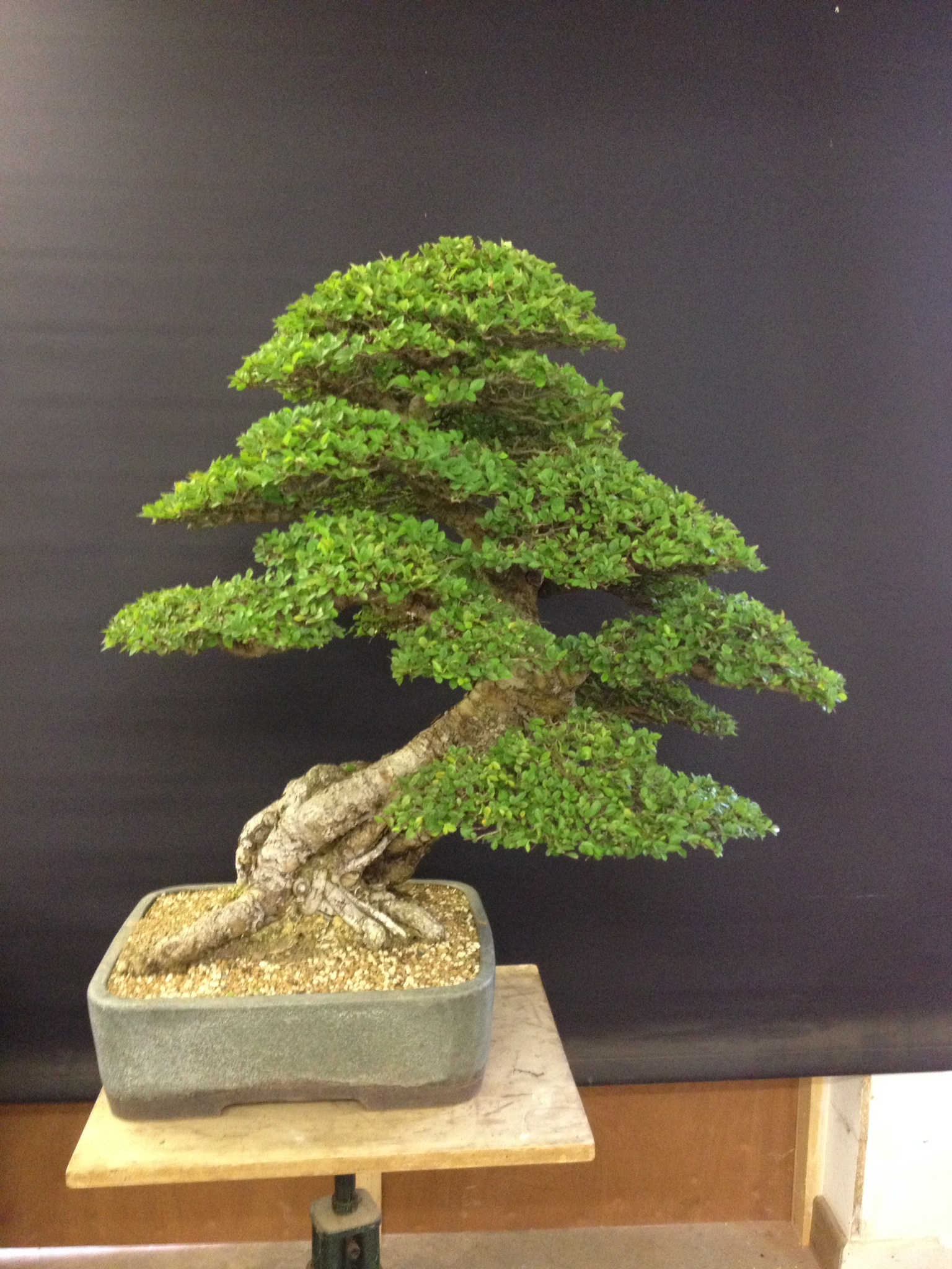 the chinese elm looks set to continue on the frontline trying to attract new people into this fascinating hobby and hopefully more trees will start chinese elm bonsai tree