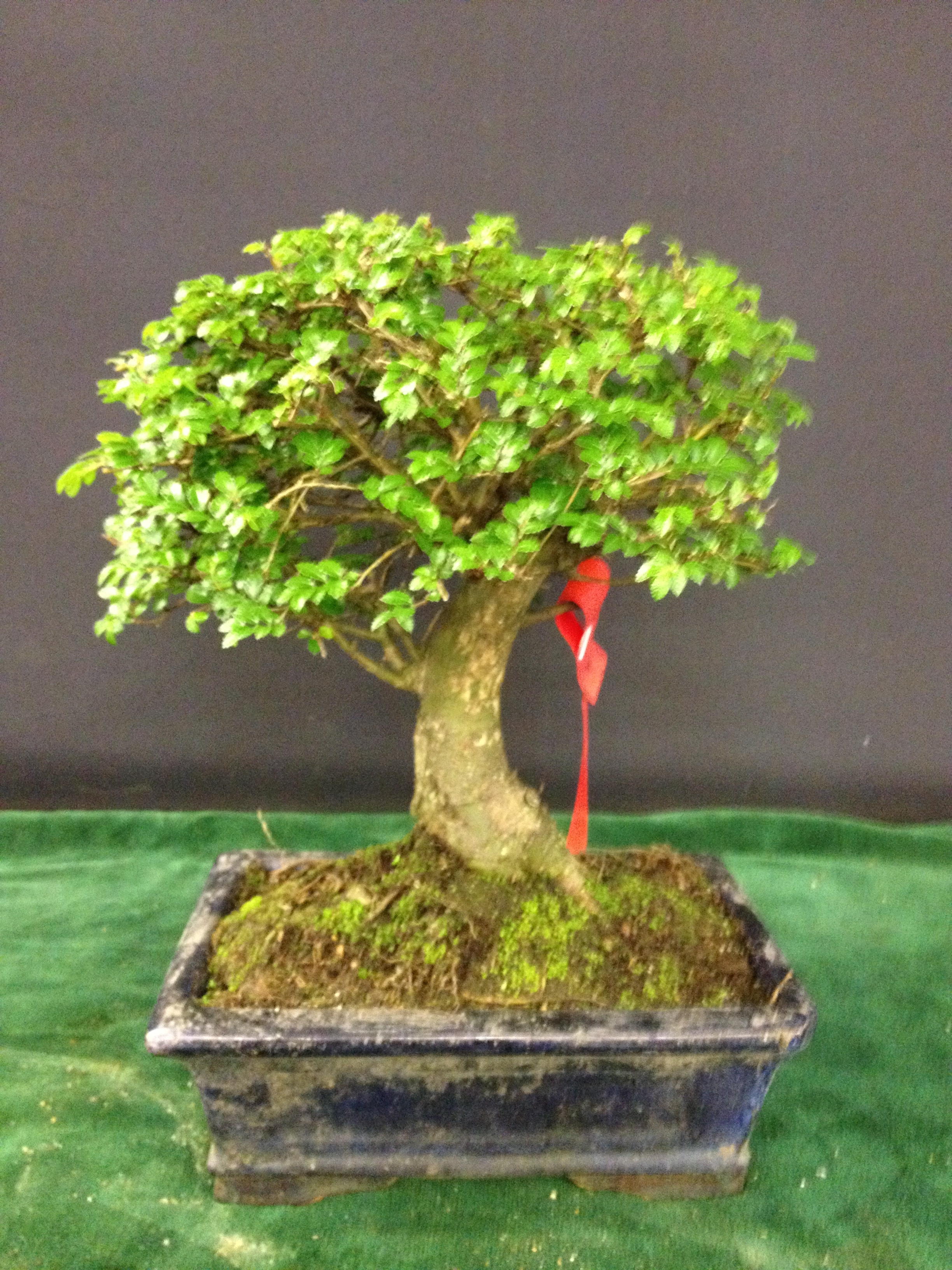 How to bonsai trees for beginners - The Tree Didn T Ask To Be Shipped Half Way Round The World And Paraded In Chain Stores Across The Country It S Not His Fault It S A Beginners Tree Because