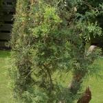 3 # horizontal juniper