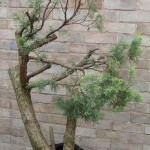 8 # horizontal juniper