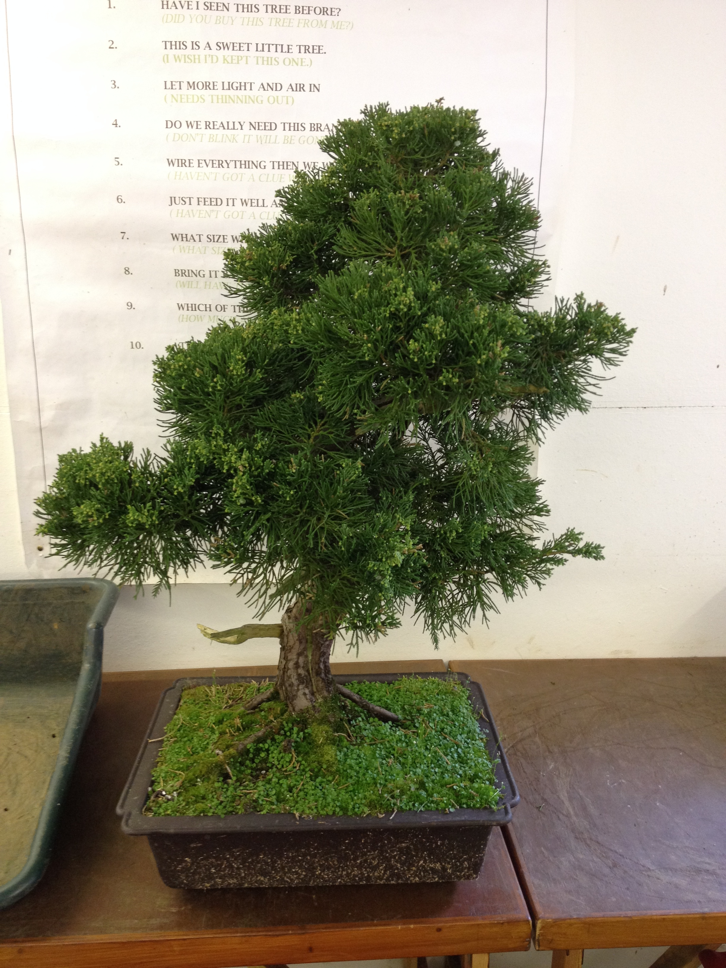 Studio Stories Bonsai Trees Receive A Makeover John Hanby Wiring Juniper Tree With Two Large Parsonii Junipers It Was Totally Different Story These Needed The Full Workscleaning Out Branch Selection Total Styling