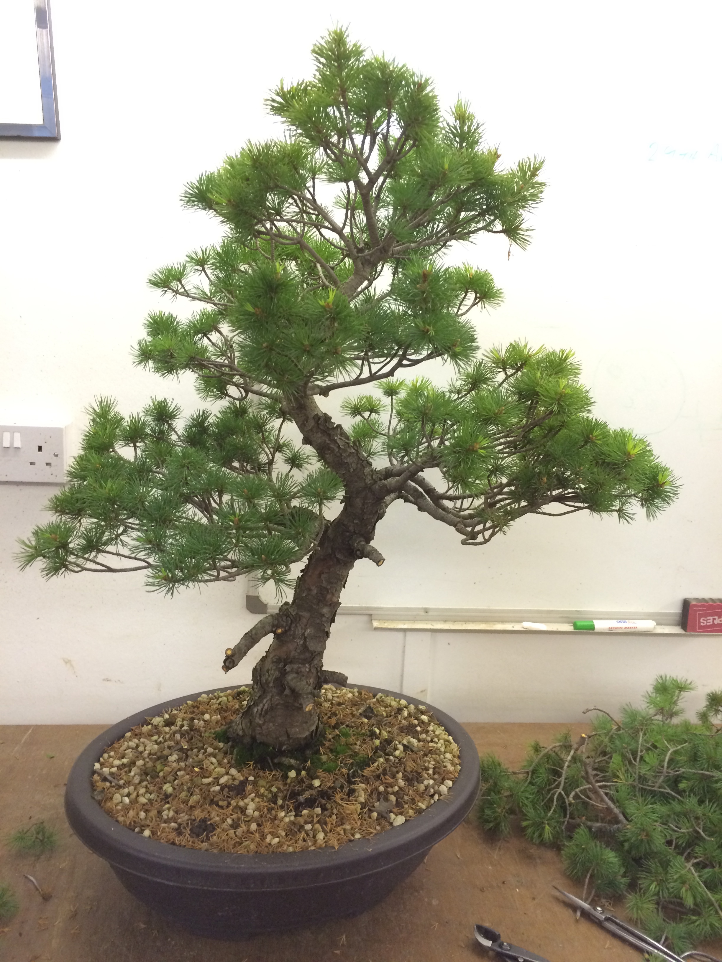 Studio Stories One To With A Kokonoe White Pine John Hanby Wiring In Bonsai The Whole Tree Was Given Close Scrutiny Prepare It Ready For Some Cases Branches Were Removed Whilst Other Areas Just