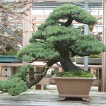 Pine250607