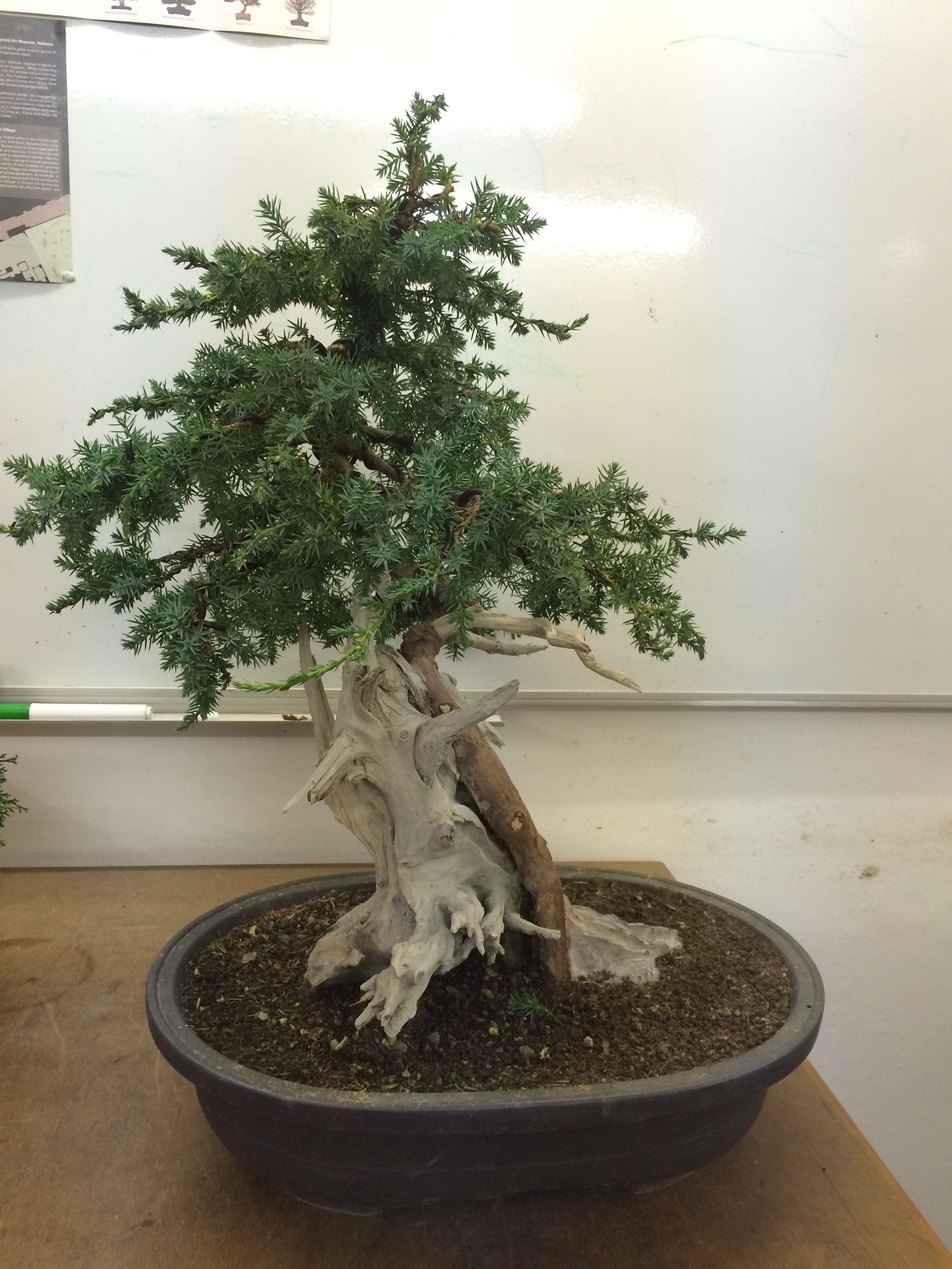 Classroom Corner Dereks Two Junipersmaking Progress John Bonsai Wiring Time The First Juniper Is Actually A Tanuki Wraparound And Already Starting To Look Quite Convincing Deadwood From An Old Yew Tree Whilst I