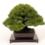 Bonsai Trees 813
