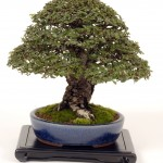 Bonsai Trees 817