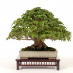 Bonsai Trees 819