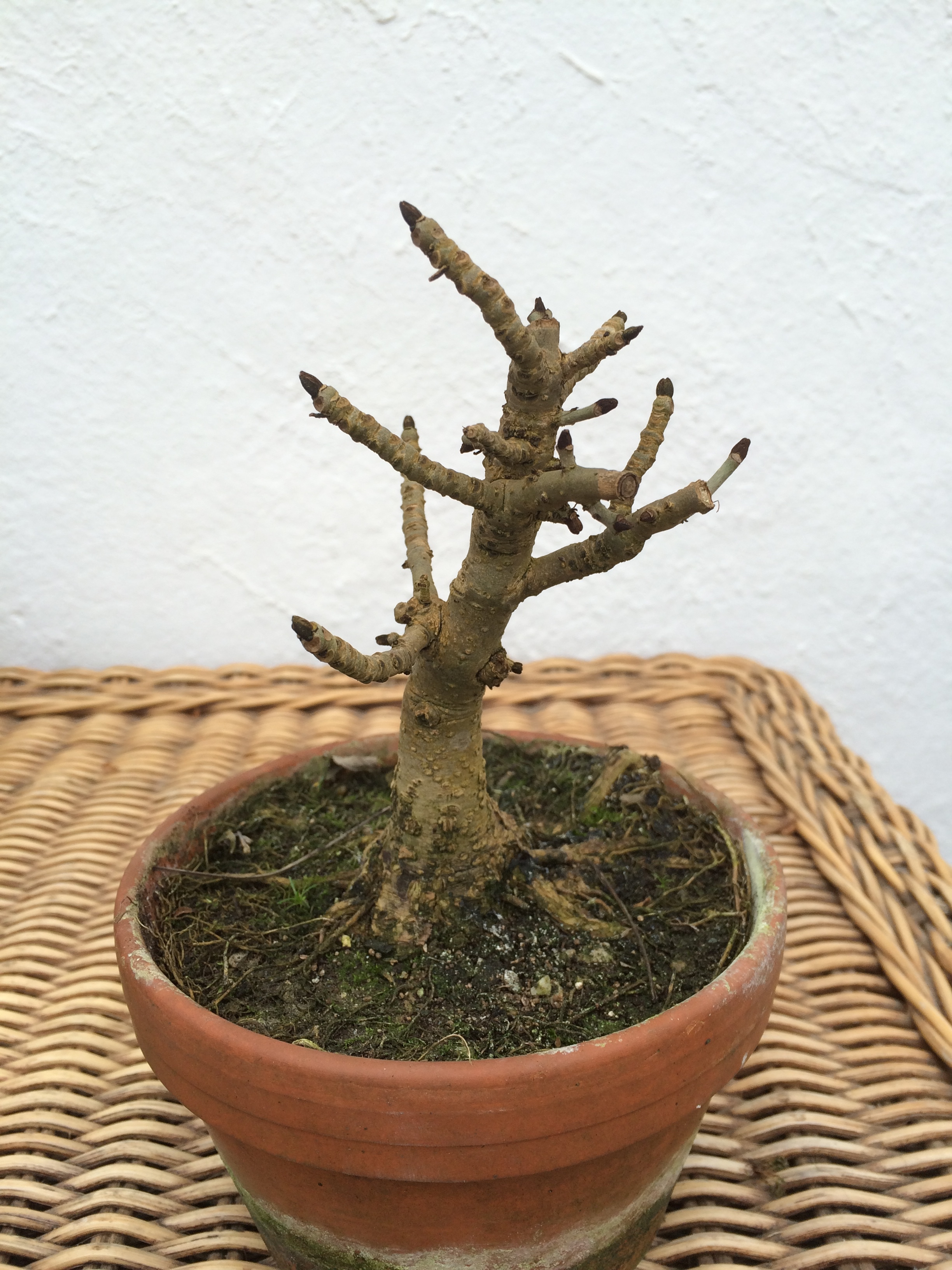 Topical Times Little And Largea Repot John Hanby Bonsai