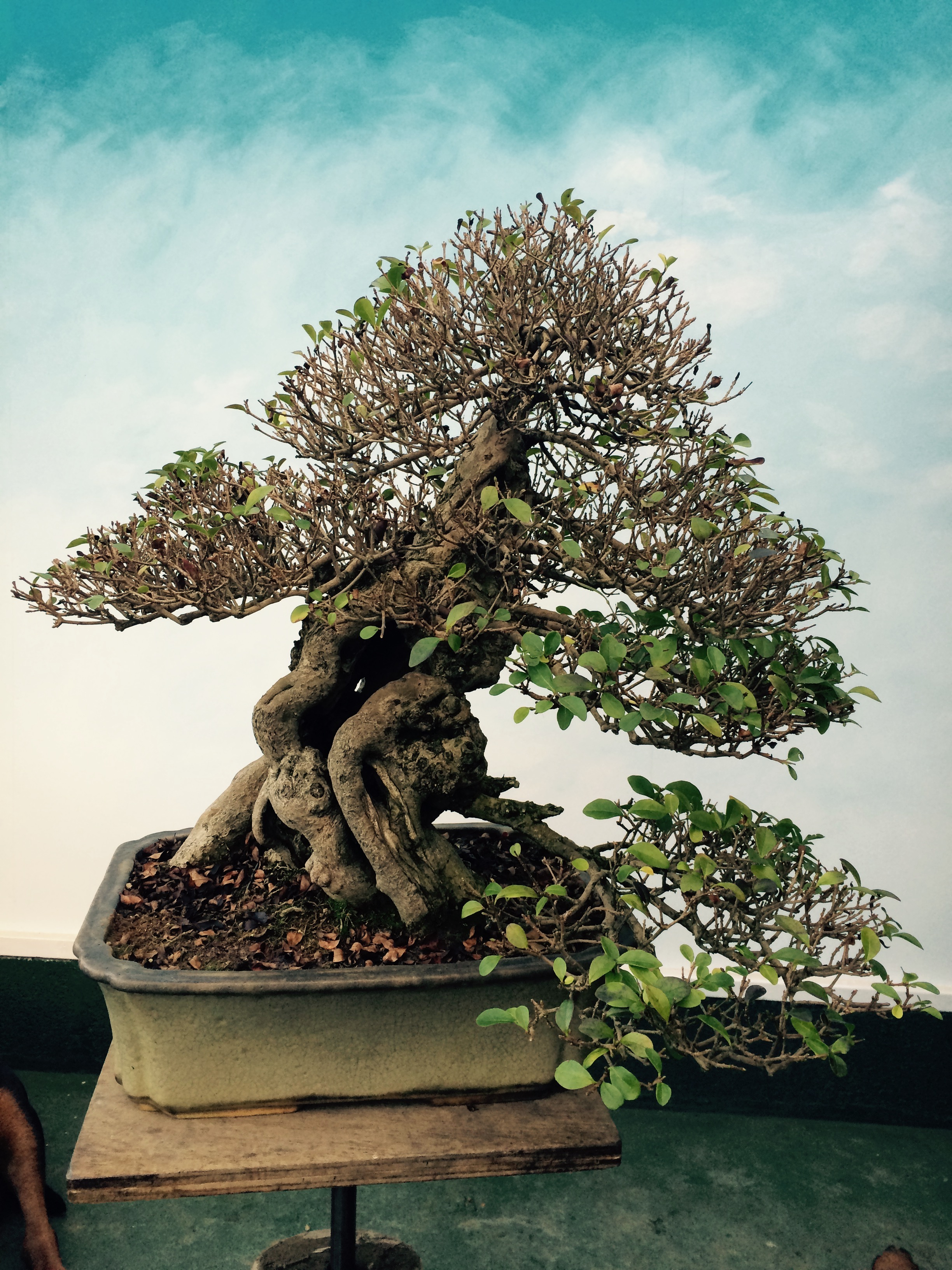 Studio Stories The Story Of Yorkshire Privet Part Three John Wiring Bonsai Branches Tree Is Given A Meticulous Pruning Refining Twigs And Removing Unwanted