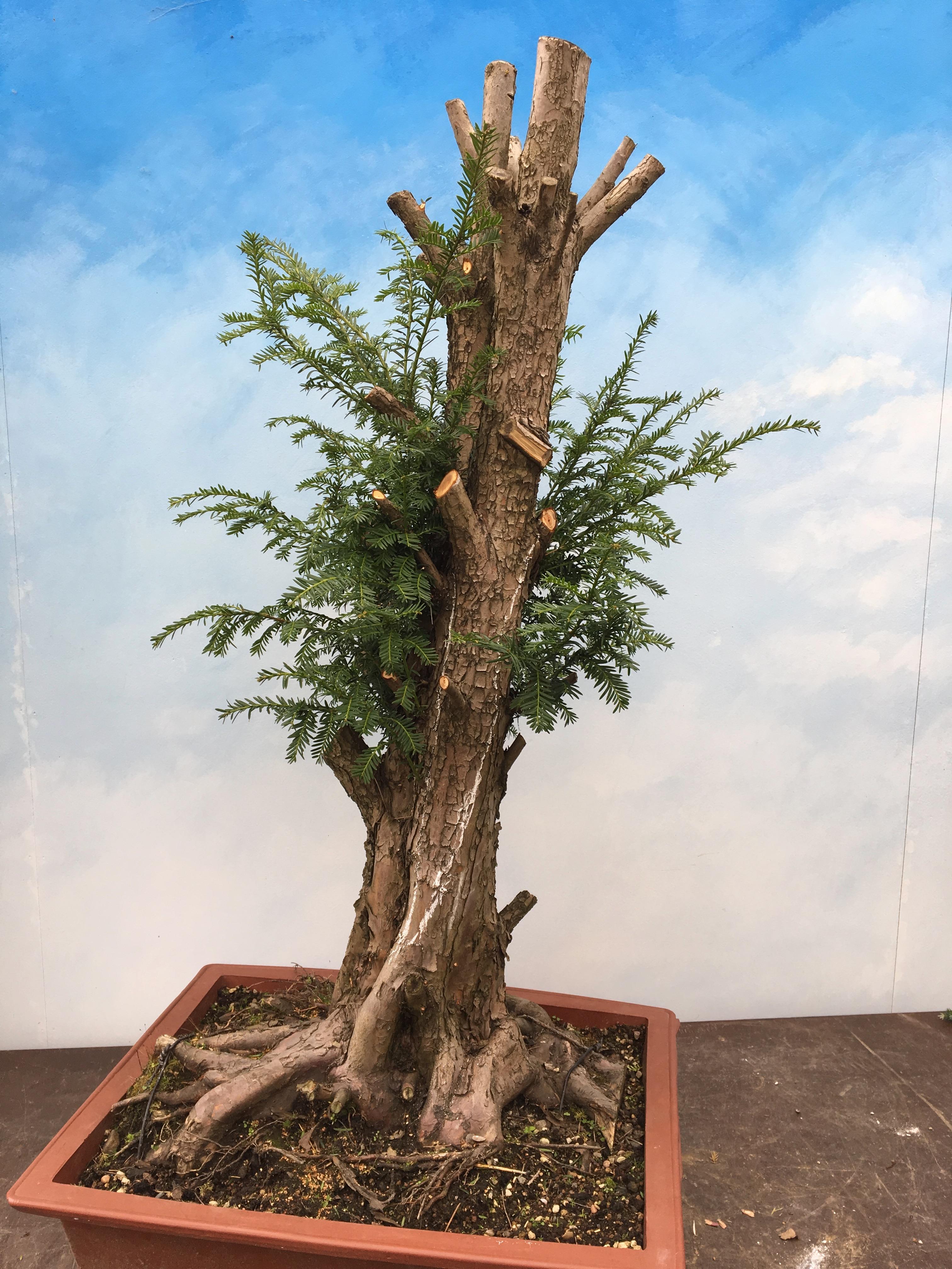 January 2017 John Hanby Bonsai Wiring Yew One Thing Is For Certainnobody Will Just Walk Straight Past This Tree Again