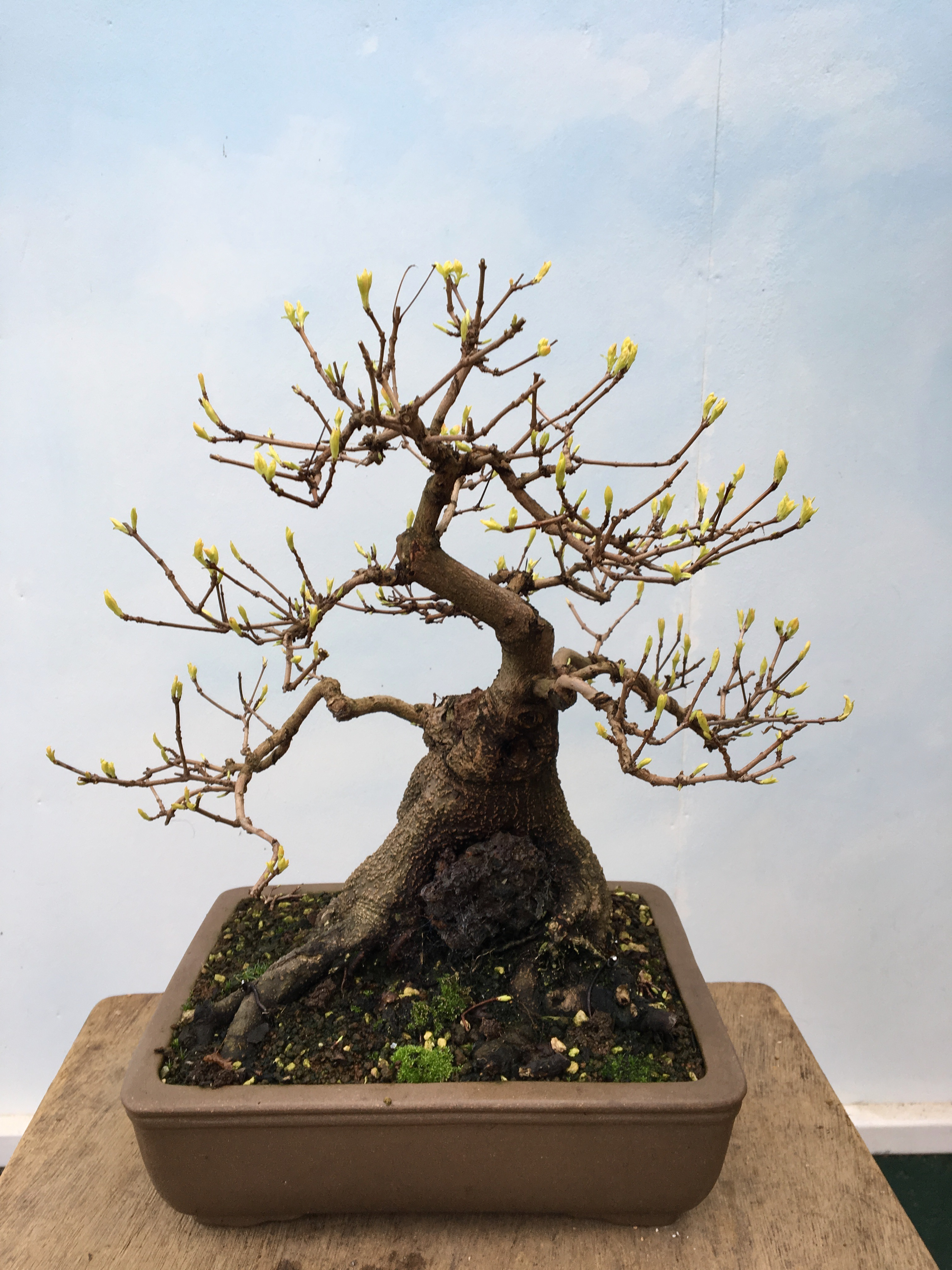 John Hanby Bonsai The No 1 Centre In Uk Page 11 Wiring Yew Topical Times Spring Is Air