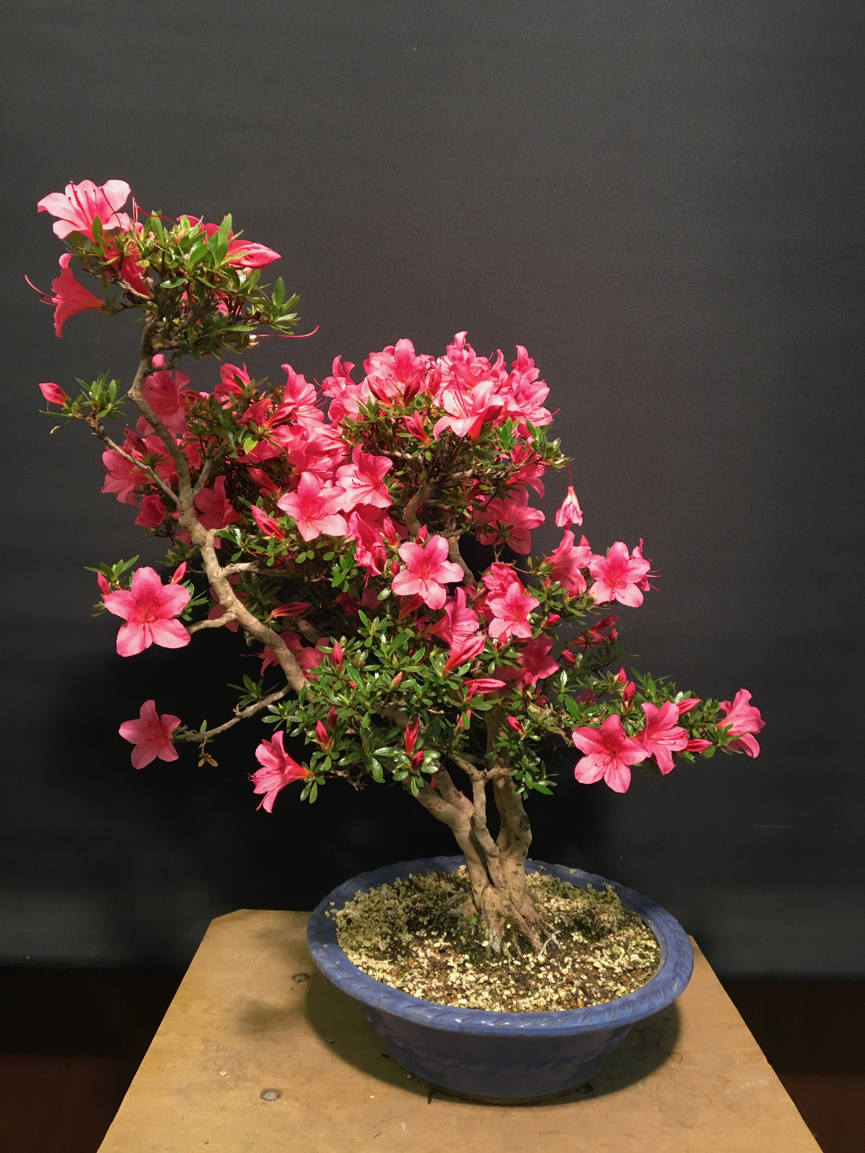 Topical Times Some Of The Satsuki Azaleas On Our Sales